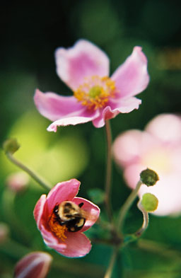 Pink flowers with a bee